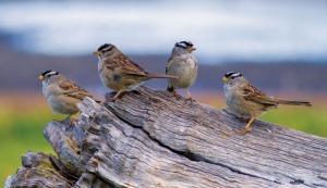 hires_ddesancic_sparrowgroup
